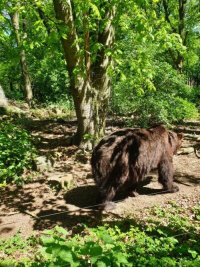 Beer in het berenbos